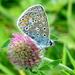 Icariusblauwtje-