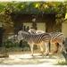 zebra\'s