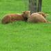 jonge schaapjes in de lente