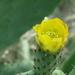 om de 8 jaar bloeiende cactus