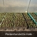 opgepotte aardbeiplanten