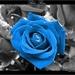 Bauwe roos