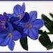blauwe tak bloem