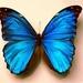 bauwe vlinder