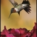 Grijze colibri