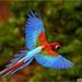 Vliegende papegaai blauw