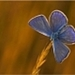 blauwe vlinder op tak