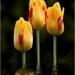 Drie gele tulpen