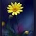 Geel fijne bloem