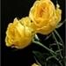 gele rozentak