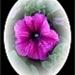 Petunia in witte cirkel