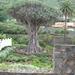 1000 Jarige drakenboom in Icod