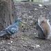 duif en eekhoorn samen