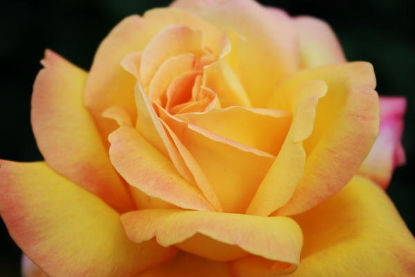 roos, bloemen