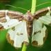Lomaspilis marginata L. Geometridae1