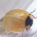net verpopt lieveheersbeestje
