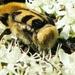 Penseelkever Trichius fasciatus L. Scarabaeidae6