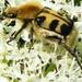 Penseelkever Trichius fasciatus L. Scarabaeidae7