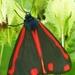 Sint-Jacobsvlinder Tyria jacobaeae L.