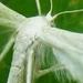 Vedermot familie der Pterophoridae5