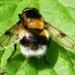 zweefvlieg Eoseristalis intricarius L. Syrphidae