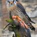 Roofvogels in het kasteel van Bouillon