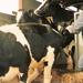 Koeien laden