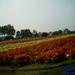 Begonia velden te Laarne