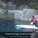 witte beluga walvis