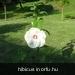 hibicus wit (3)