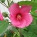 hibicus rood (3)
