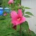 hibicus rood (2)