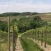 Wijnranken in de lente