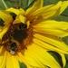 Zonnebloem en hommels