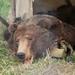 Het vel van de beer