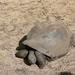 schildpad in Chamarel