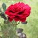 I n een wijngaard groeien ook rozen