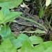 groene kikker02