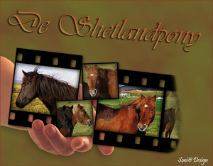 de shetlandpony