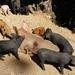 Varkens, overal in het wild