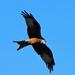 Roofvogel op zoek naar een prooi