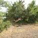 Springende impala