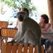 Vervet monkey (en boterhammendief)