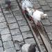 Drinkende duiven na regenval