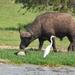 buffel en reiger