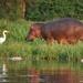 nijlpaard met reiger