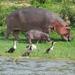 nijlpaard en aalscholvers