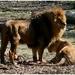 zoo-Leeuwen01wim