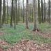 035-Boelarebos met een overvloed van boshyacinten