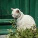 lesbos - witte kat